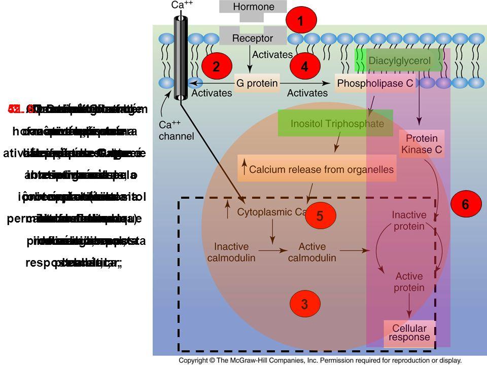 124 1.O hormônio atinge a célula alvo através do sangue e se liga ao seu receptor (sistema chave-fechadura) na membrana plasmática; 2.O complexo hormô
