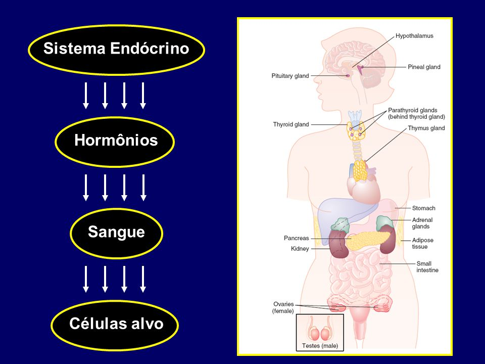 1 2 3 4 1.O hormônio é transportado no sangue acoplado a uma proteína; 2.O hormônio entra na célula- alvo e no interior do citoplasma se liga ao seu receptor (sistema chave- fechadura); 3.O complexo hormônio receptor entra no núcleo e se liga a parte do DNA e forma o RNA mensageiro; 4.O RNAm deixa o núcleo e realiza a síntese protéica no citoplasma, finalizando a resposta da célula alvo ao hormônio;