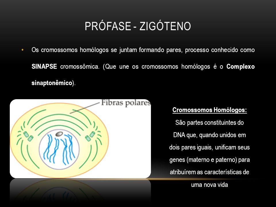 Os cromossomos homólogos se juntam formando pares, processo conhecido como SINAPSE cromossômica. (Que une os cromossomos homólogos é o Complexo sinapt