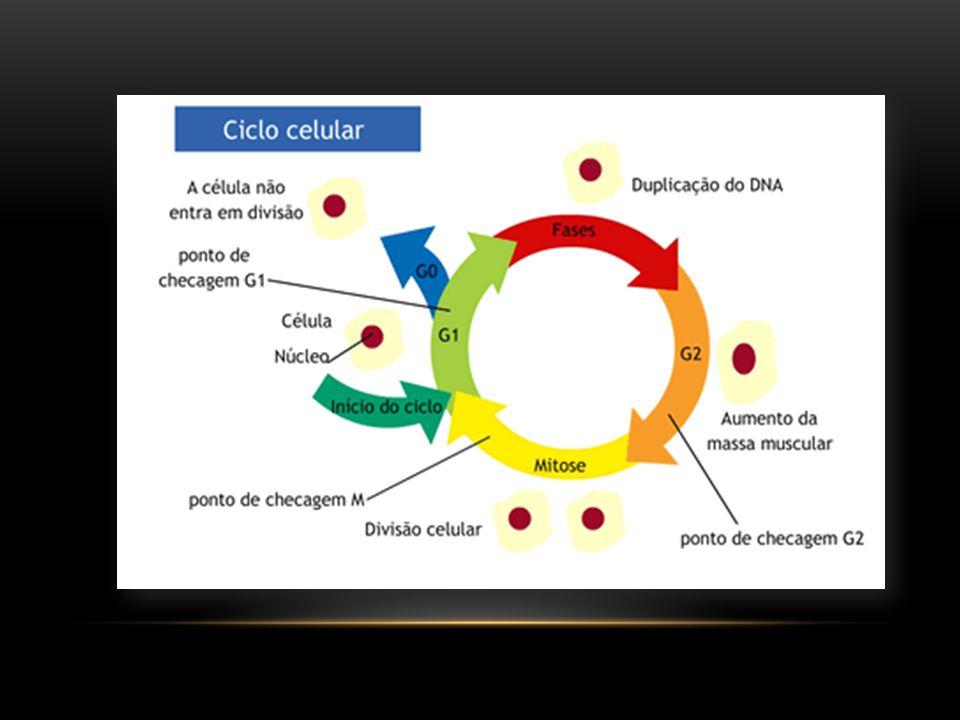 A metáfase I corresponde ao momento em que todos os cromossomos homólogos, cada um formado por duas cromátides-irmãs unidas, têm seus cinetócoros ancorados ao fuso divisional e estão perfeitamente alinhados por seus centrômeros na placa metafásica ou equatorial.
