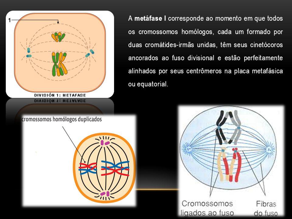 A metáfase I corresponde ao momento em que todos os cromossomos homólogos, cada um formado por duas cromátides-irmãs unidas, têm seus cinetócoros anco
