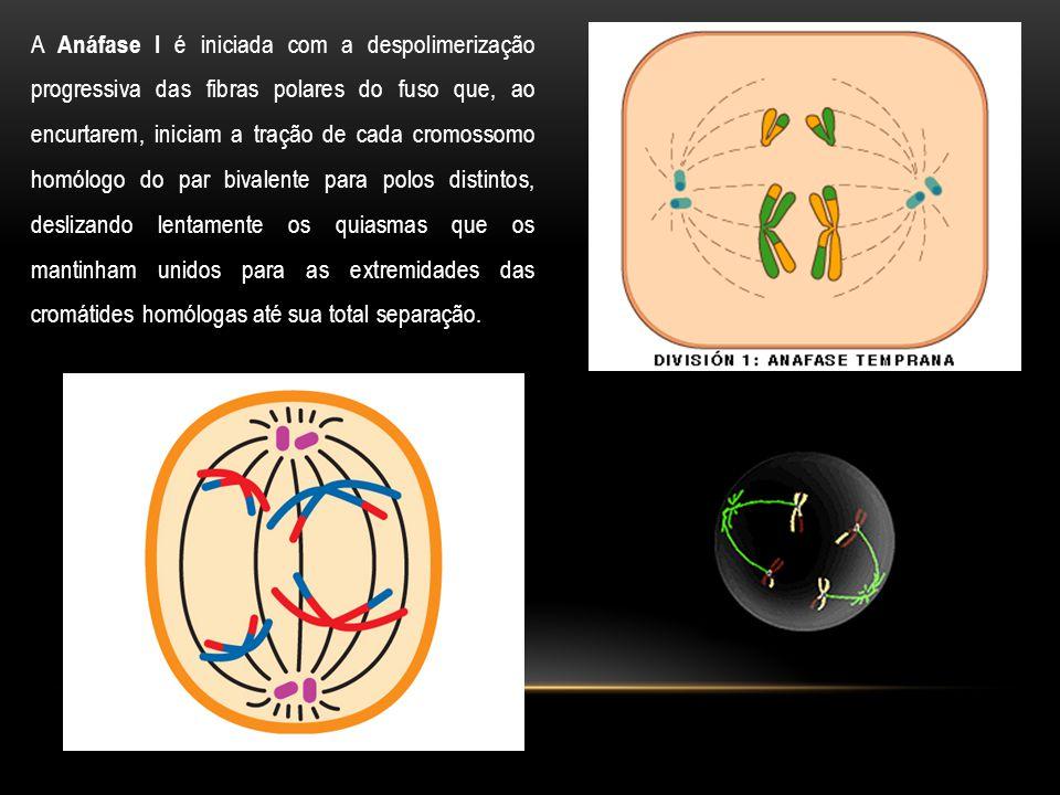 A Anáfase I é iniciada com a despolimerização progressiva das fibras polares do fuso que, ao encurtarem, iniciam a tração de cada cromossomo homólogo