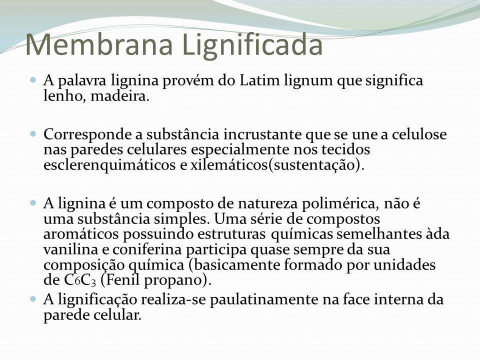 Membrana Lignificada A palavra lignina provém do Latim lignum que significa lenho, madeira. Corresponde a substância incrustante que se une a celulose