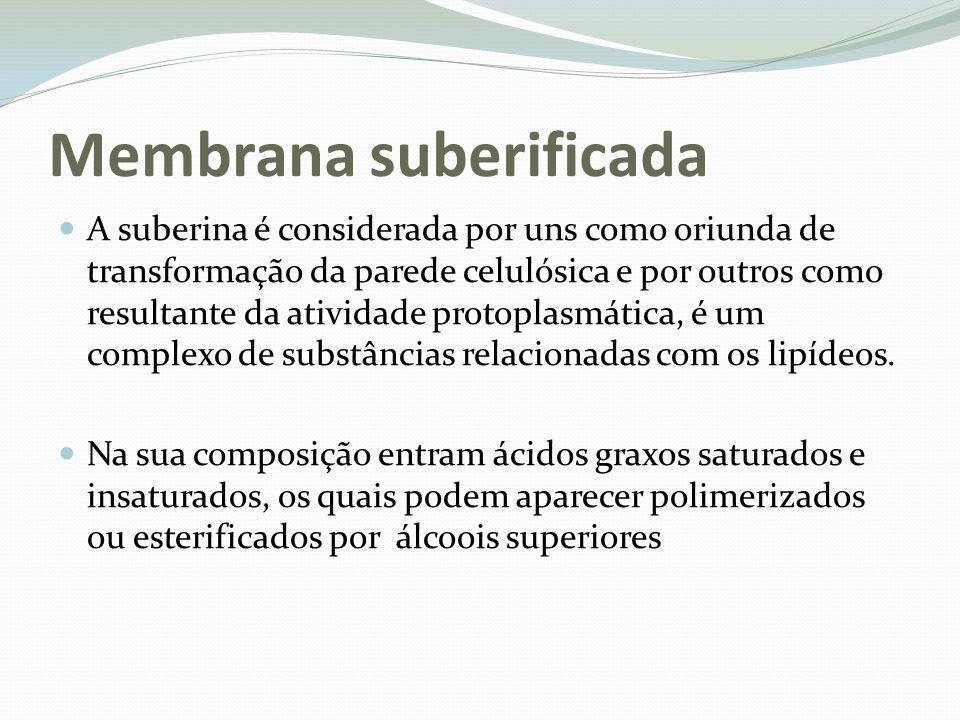 Membrana suberificada A suberina é considerada por uns como oriunda de transformação da parede celulósica e por outros como resultante da atividade pr