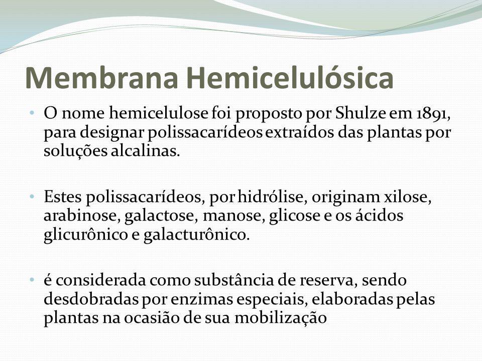 Membrana Hemicelulósica O nome hemicelulose foi proposto por Shulze em 1891, para designar polissacarídeos extraídos das plantas por soluções alcalina