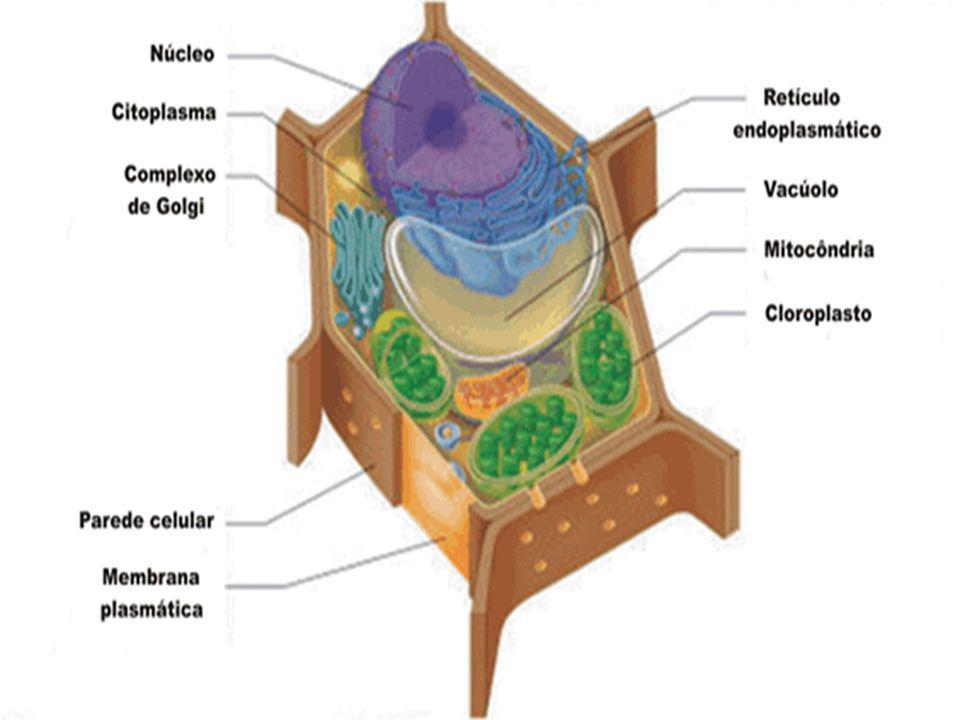 LAMELA MÉDIA Denominam-se lamela média, ou cimento intercalar, as substancias que ficam entre as paredes de células vizinhas.
