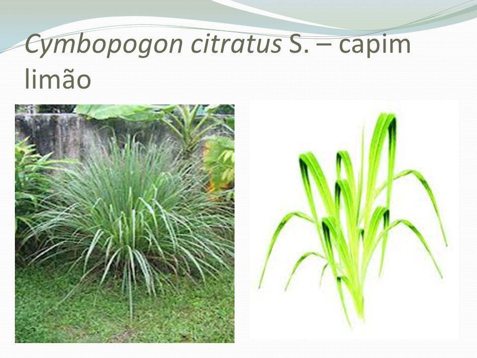 Cymbopogon citratus S. – capim limão