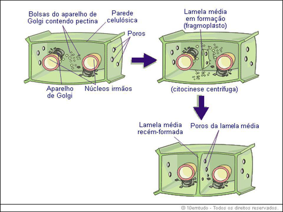 Crescimento da membrana celular Estando a membrana primária presente durante o crescimento celular, crescerá forçosamente.
