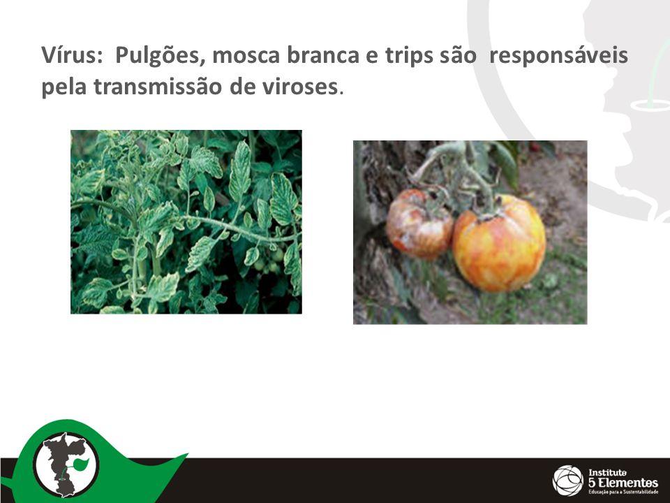 Vírus: Pulgões, mosca branca e trips são responsáveis pela transmissão de viroses.
