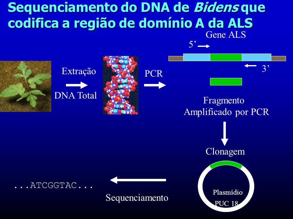 Sequenciamento do DNA de Bidens que codifica a região de domínio A da ALS Extração DNA Total PCR Gene ALS 5' 3' Fragmento Amplificado por PCR Sequenciamento...ATCGGTAC...