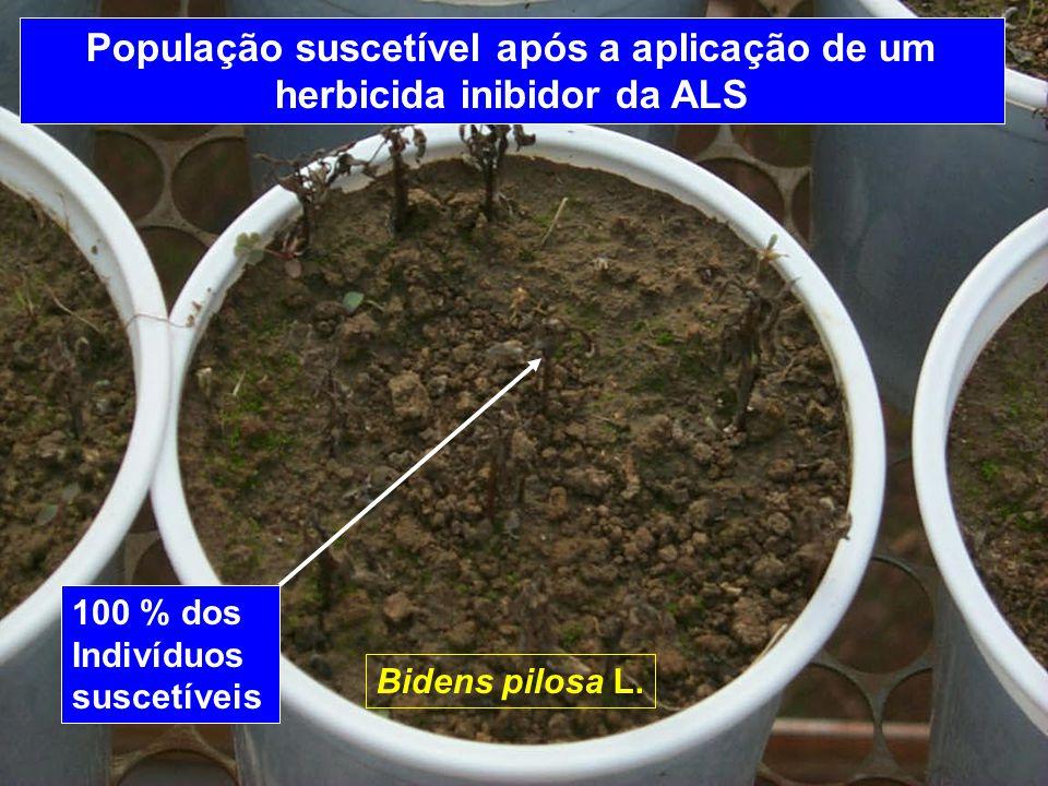 População suscetível após a aplicação de um herbicida inibidor da ALS Bidens pilosa L. 100 % dos Indivíduos suscetíveis