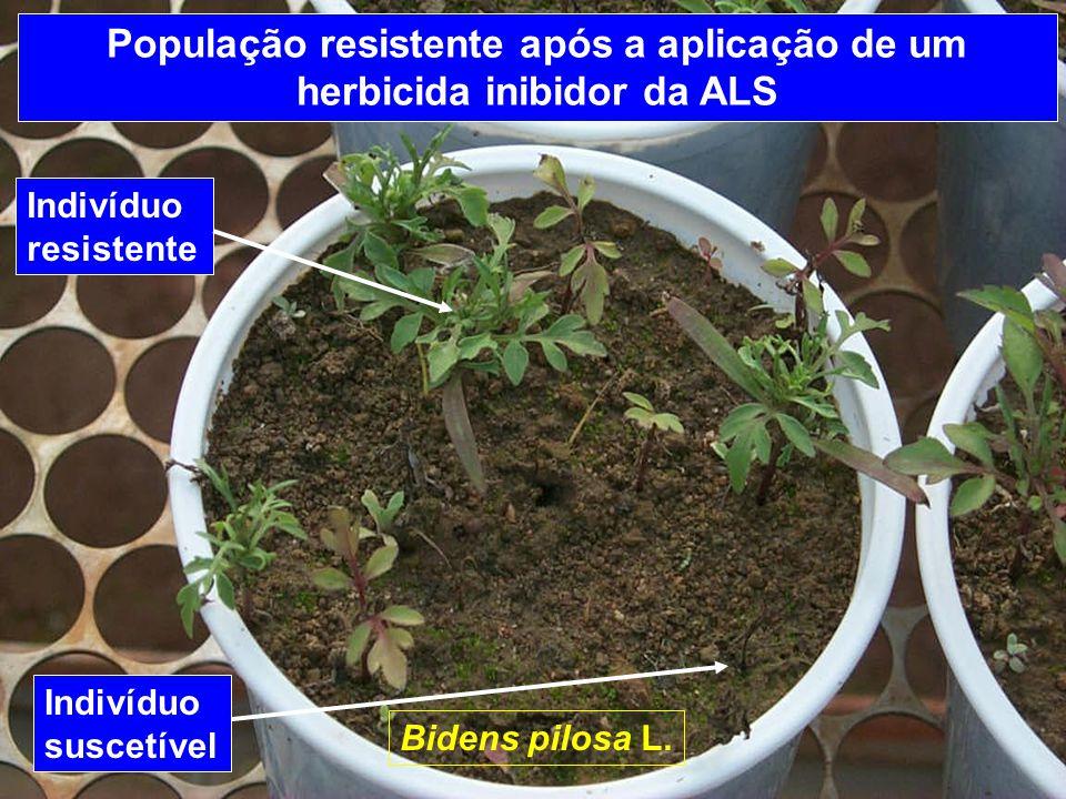 População resistente após a aplicação de um herbicida inibidor da ALS 100 % dos Indivíduos resistentes Bidens pilosa L.