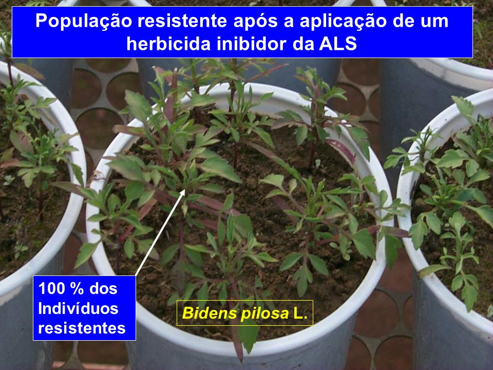 Grupo de herbicidasanos Inibidores de ALS4 Inibidores de ACCase6 - 8 Inibidores da biossíntese de caroteno~10 Inibidores da fotossíntese (Fotossistema II)10 - 15 Inibidores da fotossíntese (Fotossistema I)10 - 15 Inibidores da tubulina (Trifluralina)~10 - 15 Auxinas sintéticas (2,4-D)~20 Anos para seleção da população resistente, dependendo do grupo de herbicida A.