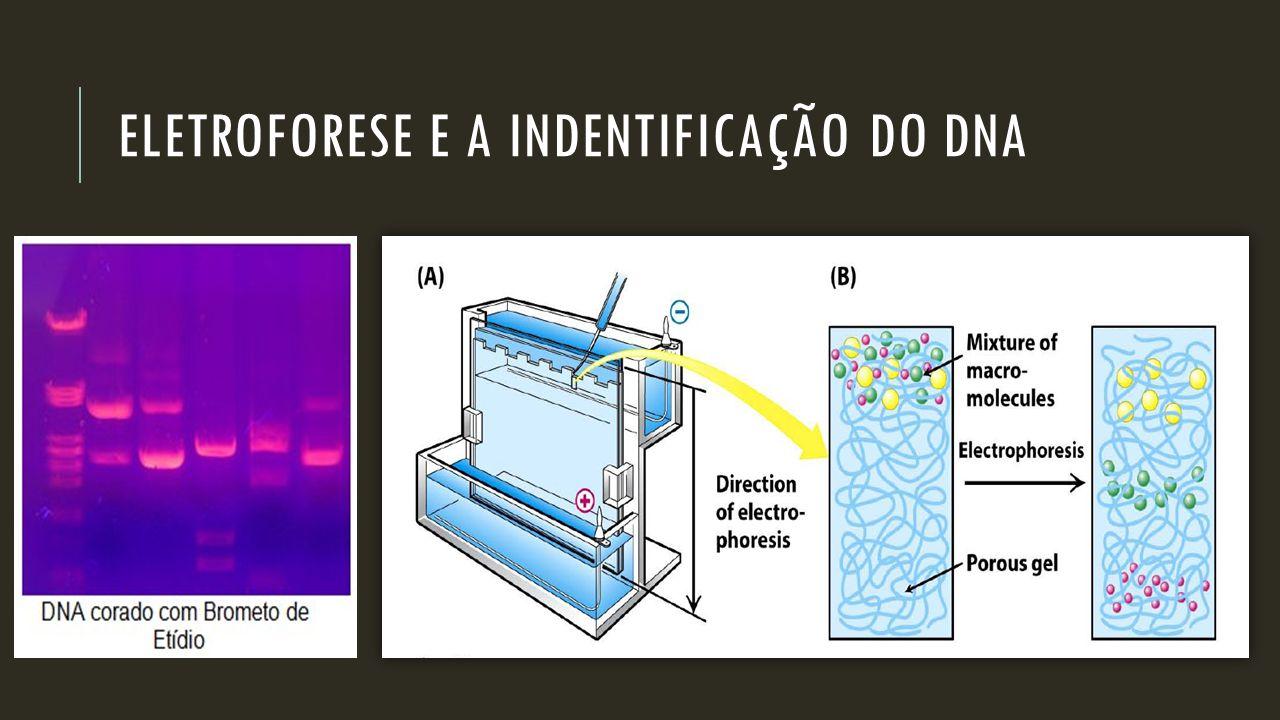 ELETROFORESE E A INDENTIFICAÇÃO DO DNA Corrimento em GEL DE AGAROSE, fragmentos de DNA, que migram do POLO NEGATIVO ao POLO POSITIVO Lembre-se!!  O F