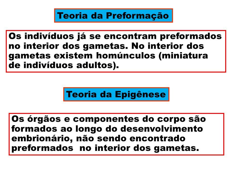 Teoria da Preformação Os indivíduos já se encontram preformados no interior dos gametas. No interior dos gametas existem homúnculos (miniatura de indi