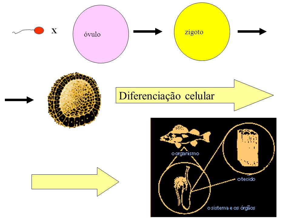 X óvulo zigoto Diferenciação celular