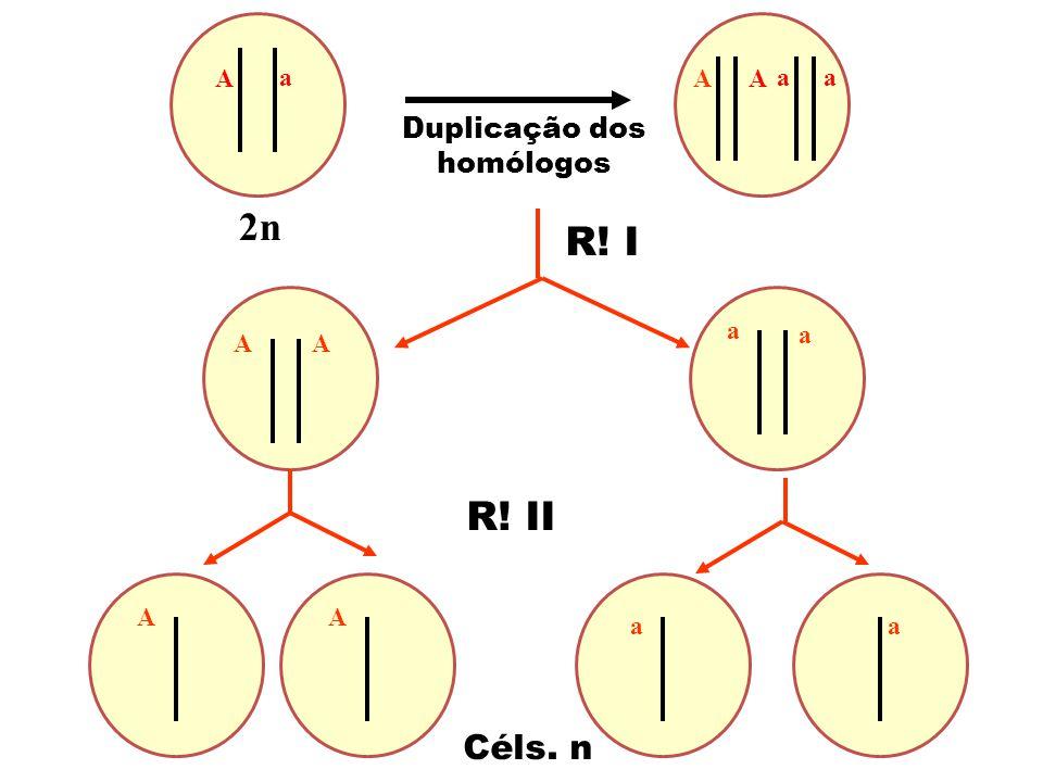 2n Céls. n Duplicação dos homólogos a A A A aa R! I R! II AA a a AA aa
