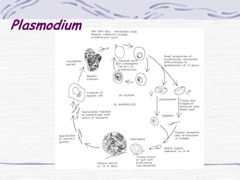 gametocitos Picada fígadohemácias merozoítos esquizogonia zigoto esporogonia esporozoito esquizonte inseto homem oocisto