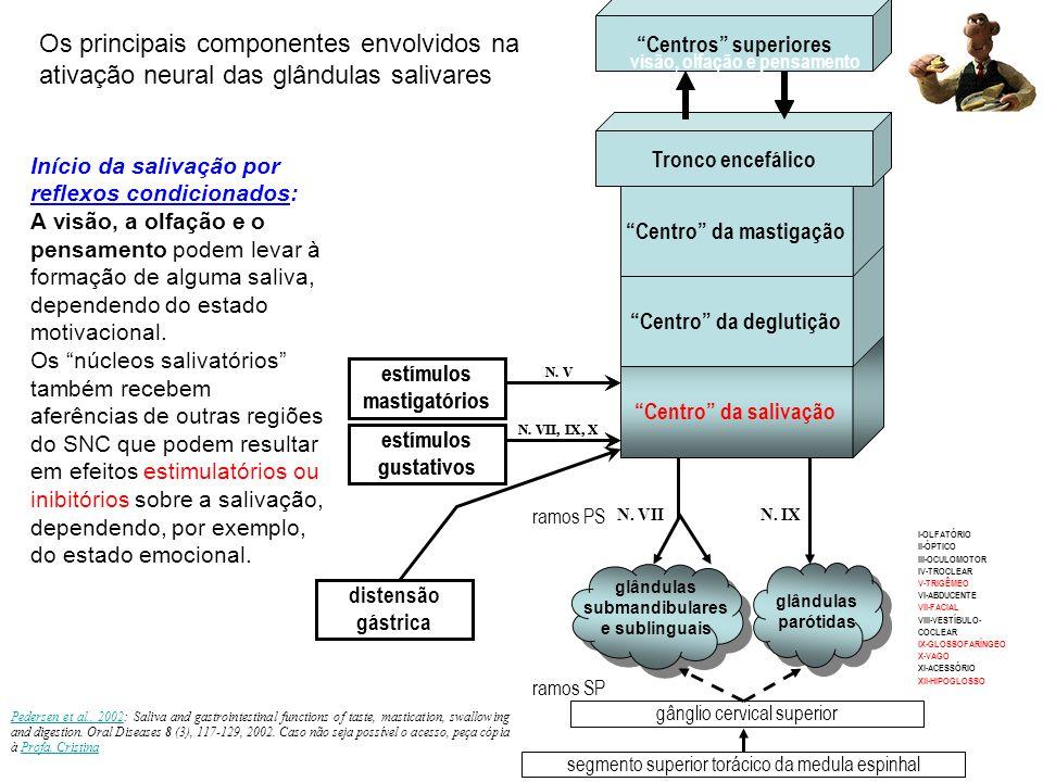 ACh ACh recptrIP 3  Ca 2+  volume do fluxo nervos parassimpáticos (Facial e Glossofaríngeo) Substance P SubP recptr DAG  PKC  secreção amilase  -recptr nervos simpáticos Noradrenalina  -recptrcAMP  PKA  secreção amilase  transitório  vol fluxo Mecanismo de ativação salivar (ácinos): nervos cranianos Inervação responsável pela estimulação da secreção salivar http://mcb.berkeley.edu/courses/mcb136/topic/Gastrointestinal/SlideSet2/GI-2.pdf Células mioepiteliais: tanto o PS quanto o SP as estimulam (ejeção da saliva pré-formada) Modulação parácrina da vasodilatação: As células epiteliais quando esimuladas, produzem uma protease, a calicreína, que hidrolisa a a2-globulina, produzindo a bradicinina, um nonapeptídio (-Arg-Pro- Pro-Gly-Phe-Ser-Pro-Phe-Arg) com potente ação vasodilatora.