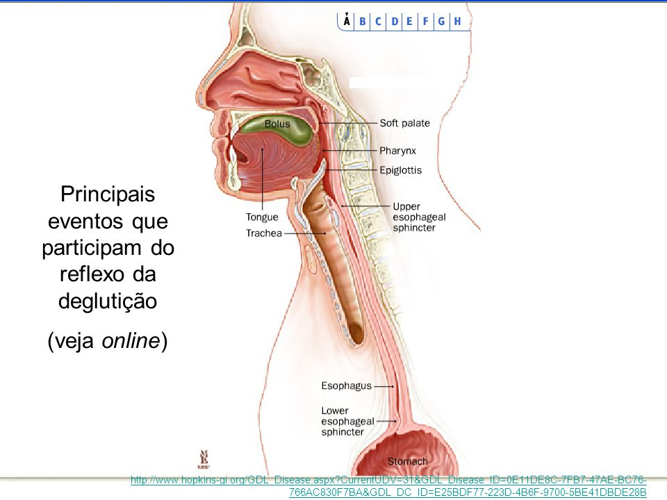 Principais eventos que participam do reflexo da deglutição (veja online) http://www.hopkins-gi.org/GDL_Disease.aspx?CurrentUDV=31&GDL_Disease_ID=0E11D