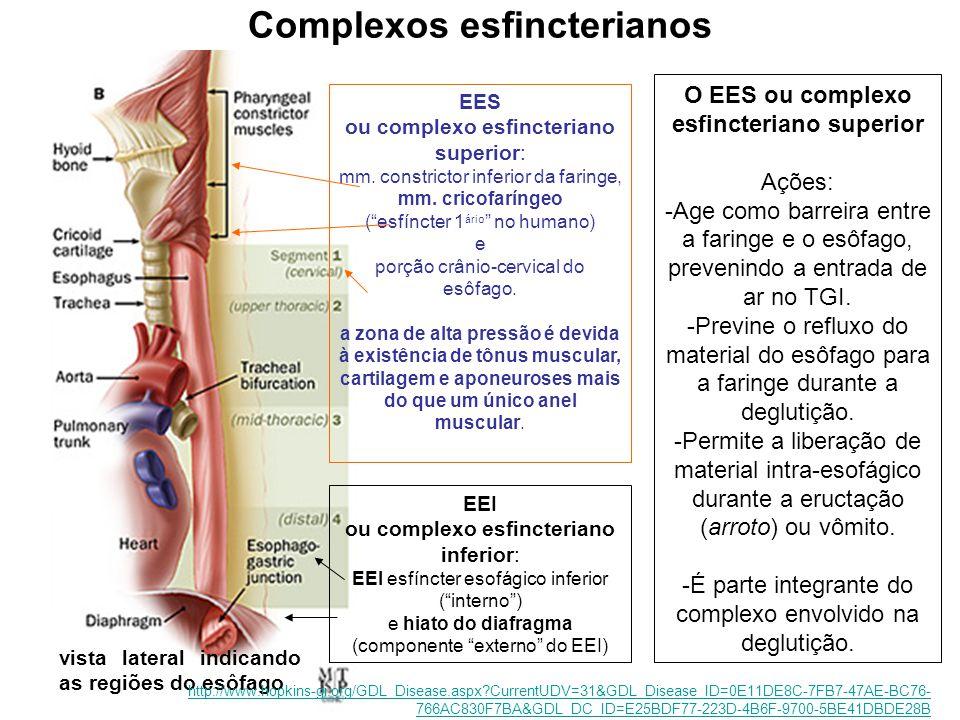 vista lateral indicando as regiões do esôfago Complexos esfincterianos EES ou complexo esfincteriano superior: mm.
