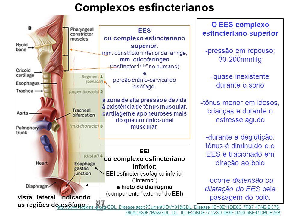 vista lateral indicando as regiões do esôfago Complexos esfincterianos EES ou complexo esfincteriano superior: mm. constrictor inferior da faringe, mm