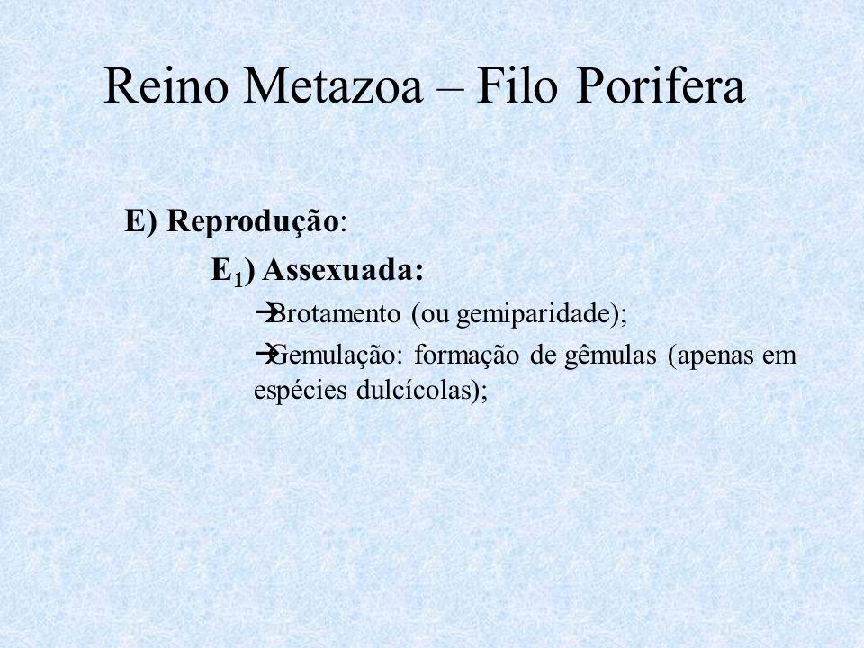 Reino Metazoa – Filo Porifera E) Reprodução: E 1 ) Assexuada:  Brotamento (ou gemiparidade);  Gemulação: formação de gêmulas (apenas em espécies dul