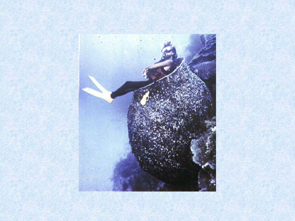 Reino Metazoa – Filo Porifera A)Características gerais:  Assimétricos;