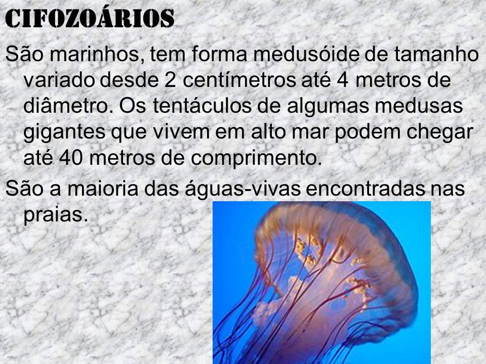 Cifozoários São marinhos, tem forma medusóide de tamanho variado desde 2 centímetros até 4 metros de diâmetro.