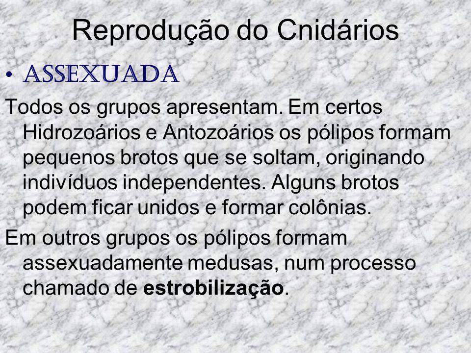 Reprodução do Cnidários Assexuada Todos os grupos apresentam.