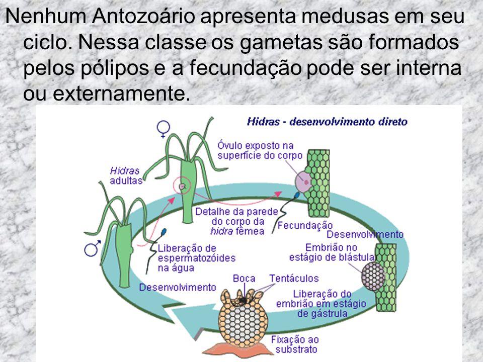 Nenhum Antozoário apresenta medusas em seu ciclo.