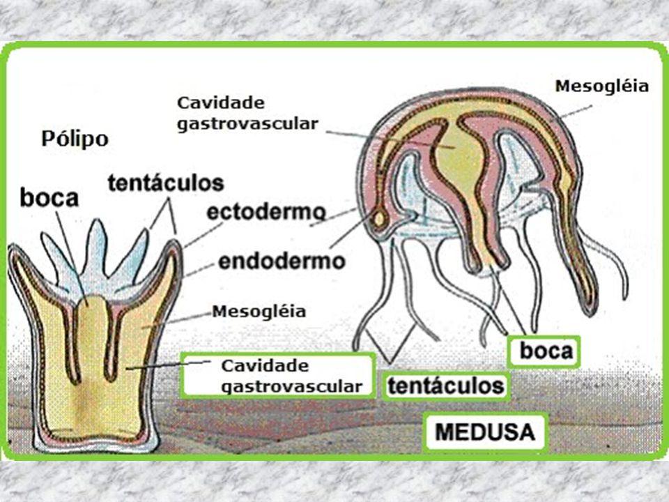 O sistema nervoso é difuso, ou seja, espalhado por todo o corpo.