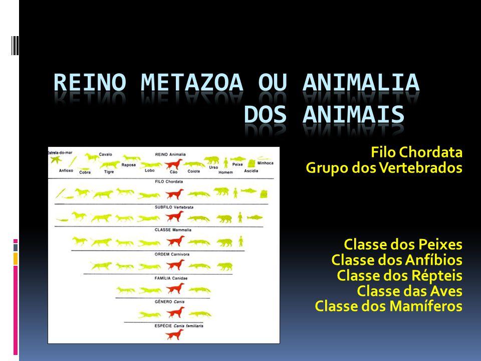 Filo Chordata Grupo dos Vertebrados Classe dos Peixes Classe dos Anfíbios Classe dos Répteis Classe das Aves Classe dos Mamíferos