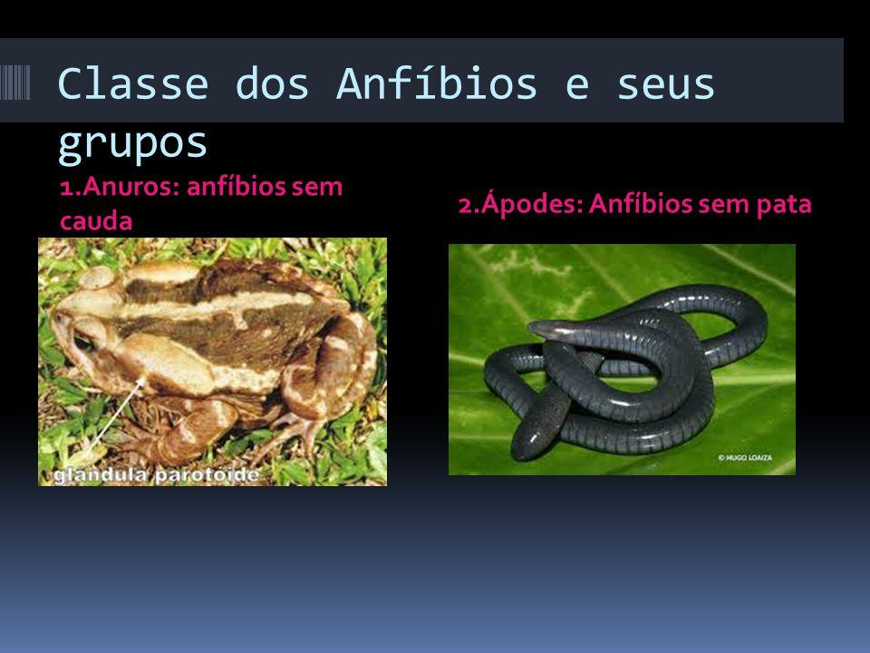 Classe dos Anfíbios e seus grupos 1.Anuros: anfíbios sem cauda 2.Ápodes: Anfíbios sem pata