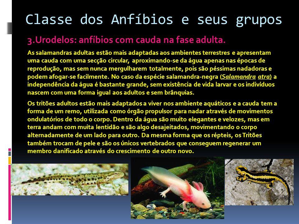 Classe dos Anfíbios e seus grupos 3.Urodelos: anfíbios com cauda na fase adulta. As salamandras adultas estão mais adaptadas aos ambientes terrestres