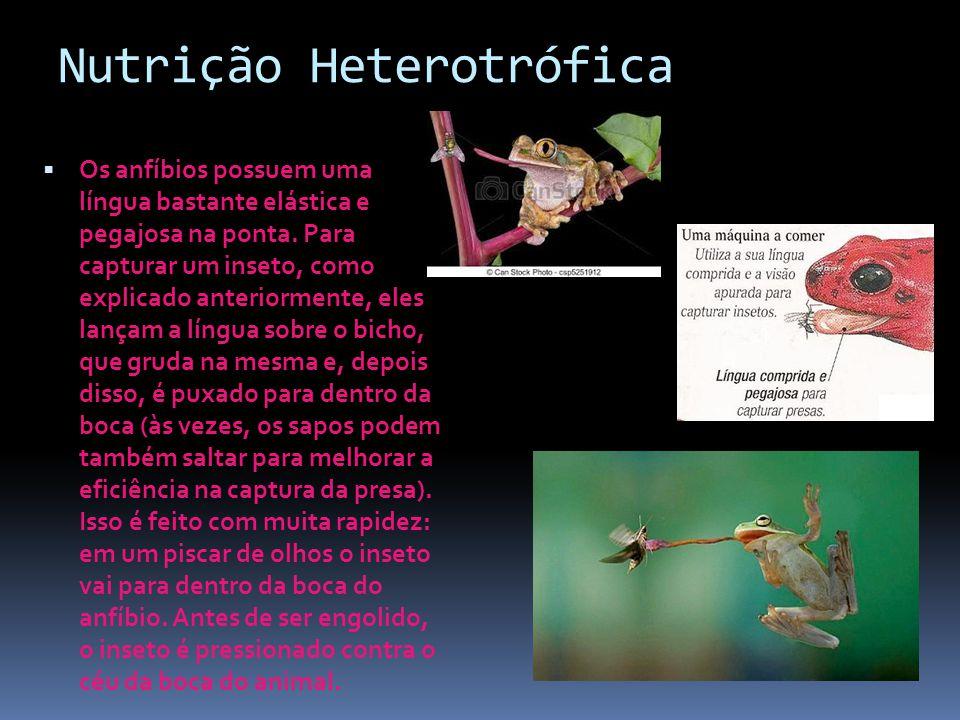 Nutrição Heterotrófica  Os anfíbios possuem uma língua bastante elástica e pegajosa na ponta. Para capturar um inseto, como explicado anteriormente,