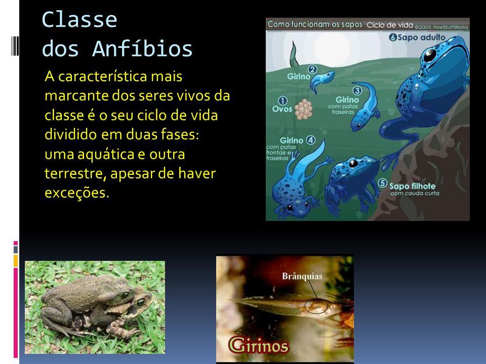 Classe dos Anfíbios A característica mais marcante dos seres vivos da classe é o seu ciclo de vida dividido em duas fases: uma aquática e outra terres