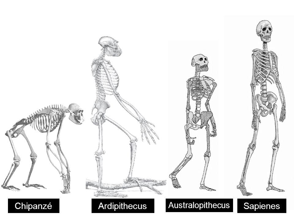 ChipanzéArdipithecus Australopithecus Sapienes