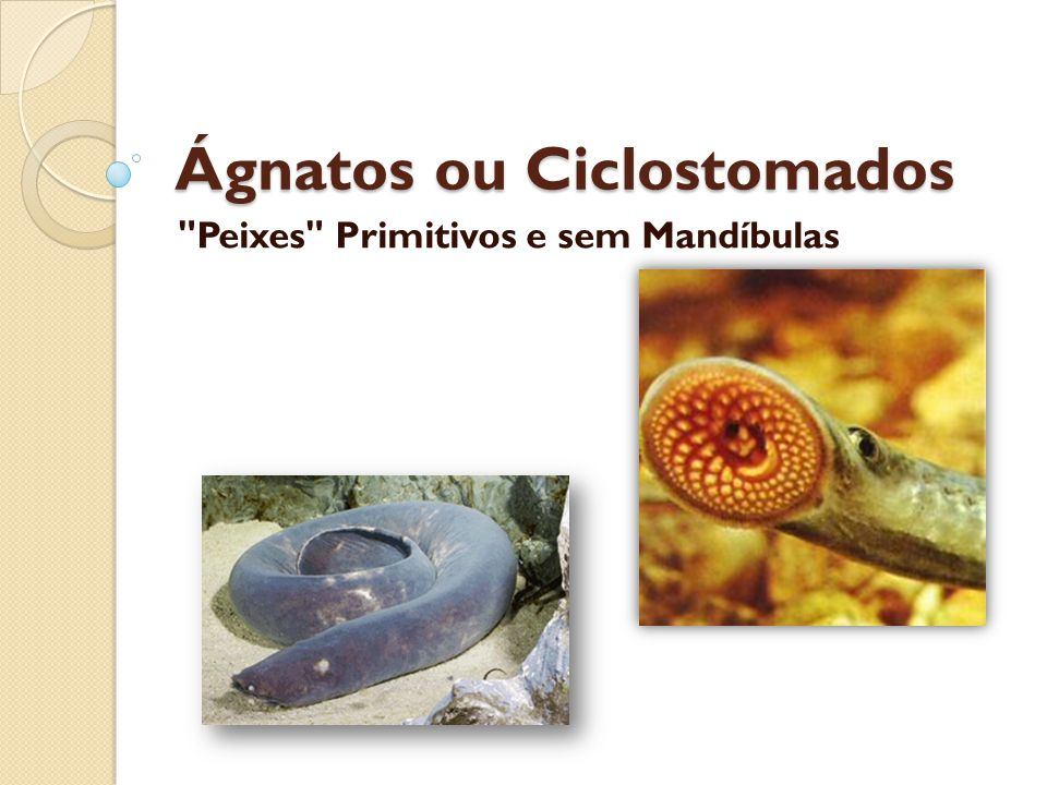 Ágnatos ou Ciclostomados Peixes Primitivos e sem Mandíbulas