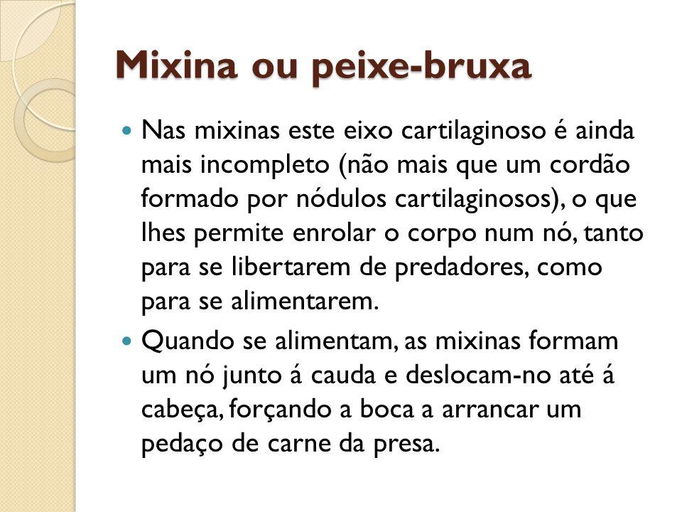 Mixina ou peixe-bruxa Nas mixinas este eixo cartilaginoso é ainda mais incompleto (não mais que um cordão formado por nódulos cartilaginosos), o que l