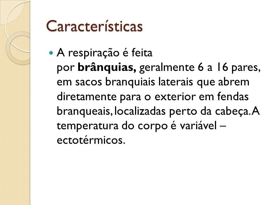 Características A respiração é feita por brânquias, geralmente 6 a 16 pares, em sacos branquiais laterais que abrem diretamente para o exterior em fen
