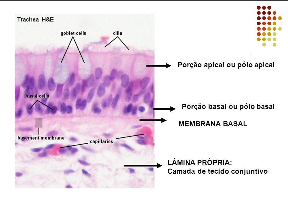 MEMBRANA BASAL Todos os epitélios são sustentados por uma membrana basal.