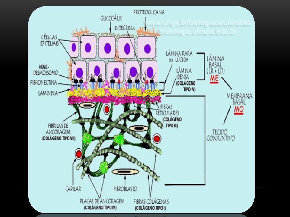 EPITÉLIO COLUNAR PSEUDO-ESTRATIFICADO O epitélio é dito pseudo-estratificado, pois dá a impressão que existe mais de uma camada de células, pois, os núcleos se dispõem em diferentes níveis e criam a ilusão.