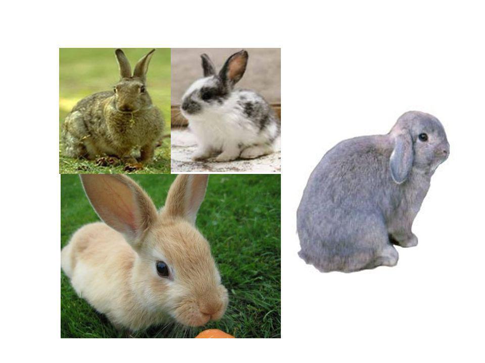 Se um macho aguti, filho de um aguti com um himalaio(ambos homozigotos), cruzar com uma fêmea chinchila (cchca),produzirá coelhos com todos os fenótipos a seguir, exceto: a)Aguti.