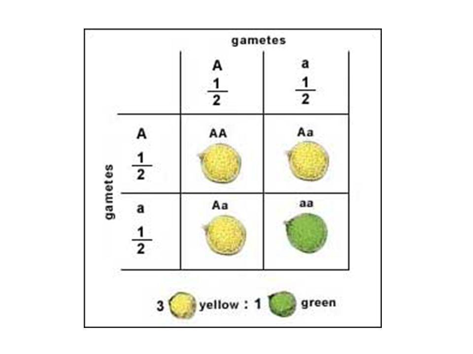 Alelos múltiplos Dominância em cascata Quatro variantes de uma mesmo gene C > C ch > C h > C a GenótipoFenótipo CC, C C ch, C C h e C C a Selvagem ou aguti C ch C ch, C ch C h e C ch C a Chinchila C h C h e Ch C a Himalaia CaCaCaCa Albino
