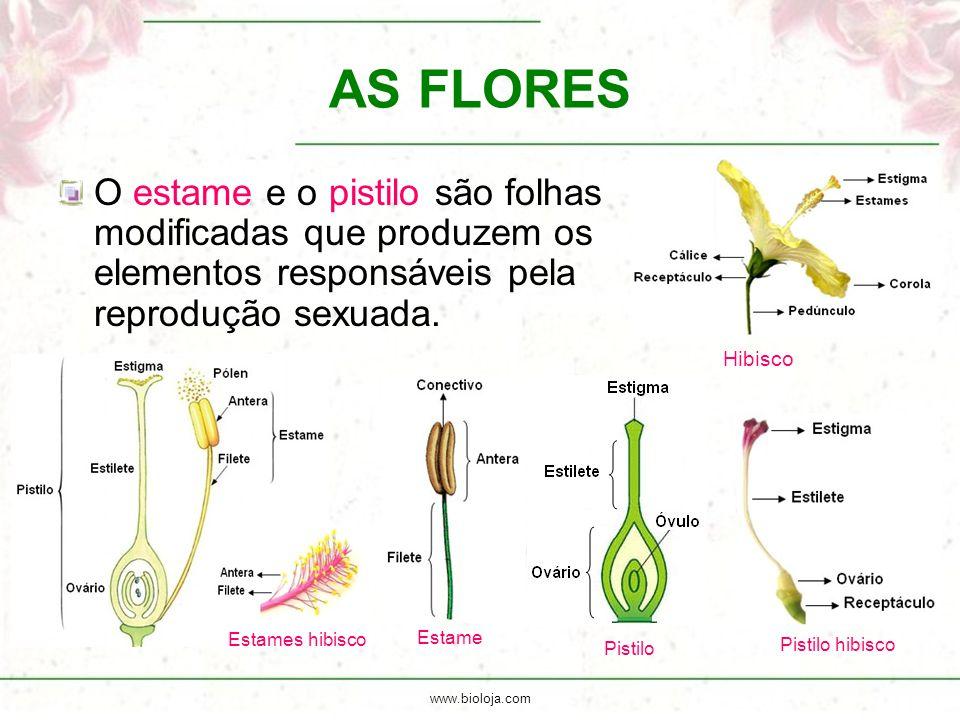 www.bioloja.com Hibisco AS FLORES O estame e o pistilo são folhas modificadas que produzem os elementos responsáveis pela reprodução sexuada. Estame P