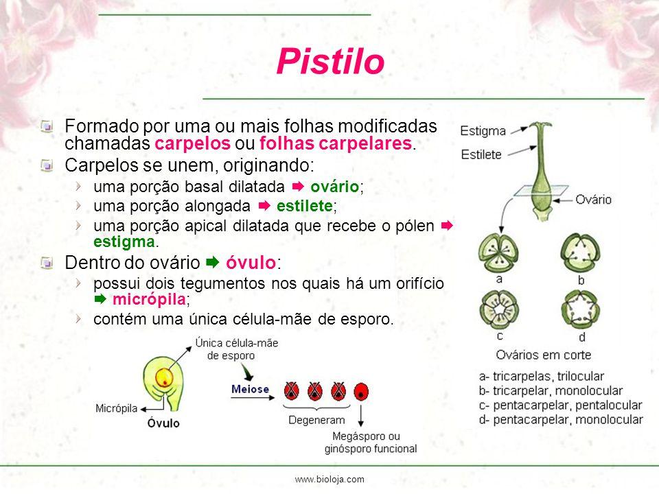 www.bioloja.com Pistilo Formado por uma ou mais folhas modificadas chamadas carpelos ou folhas carpelares. Carpelos se unem, originando: uma porção ba