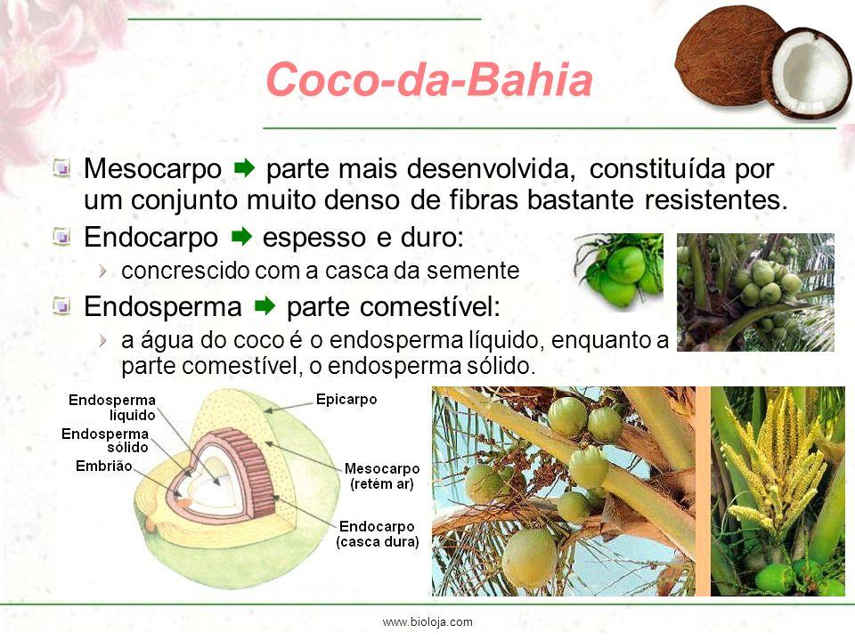www.bioloja.com Coco-da-Bahia Mesocarpo  parte mais desenvolvida, constituída por um conjunto muito denso de fibras bastante resistentes. Endocarpo 