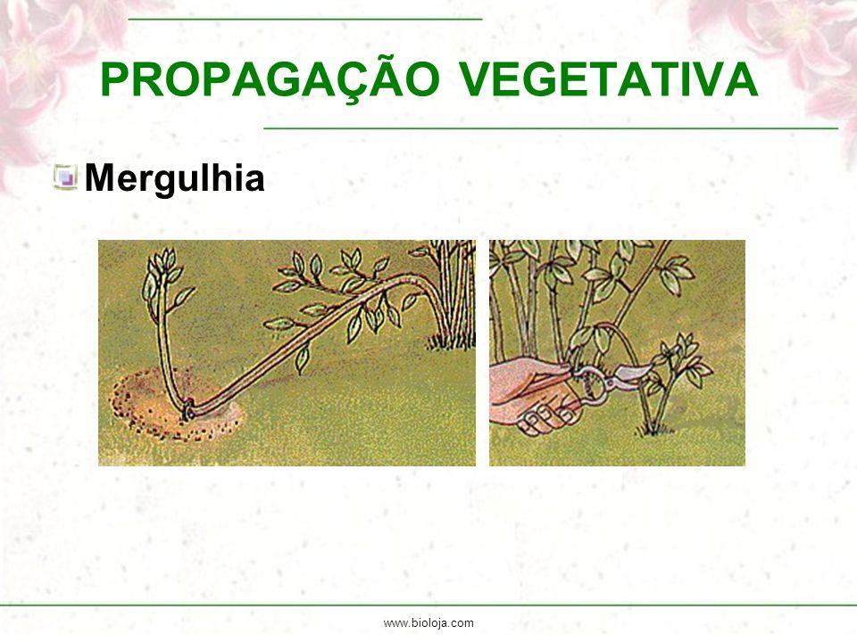 www.bioloja.com PROPAGAÇÃO VEGETATIVA Mergulhia