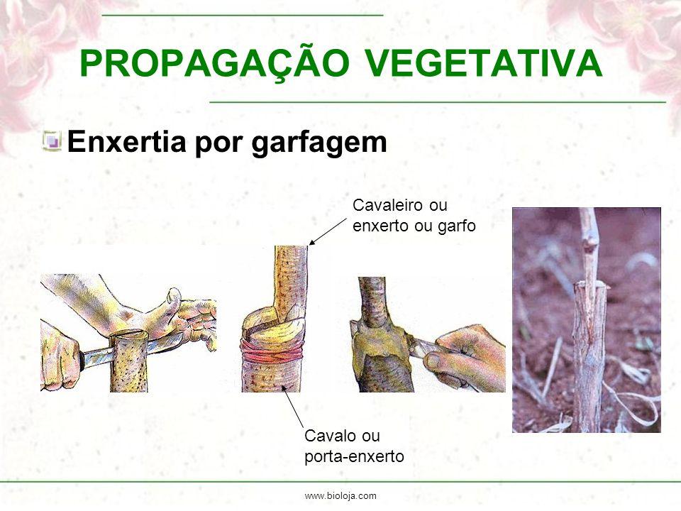 www.bioloja.com PROPAGAÇÃO VEGETATIVA Enxertia por garfagem Cavalo ou porta-enxerto Cavaleiro ou enxerto ou garfo